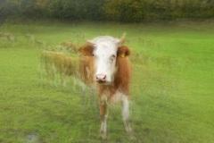 Kuh-Ramsau-Lonicer