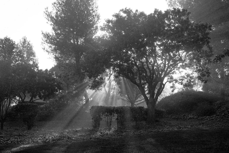 Morgenlicht-Lonicer